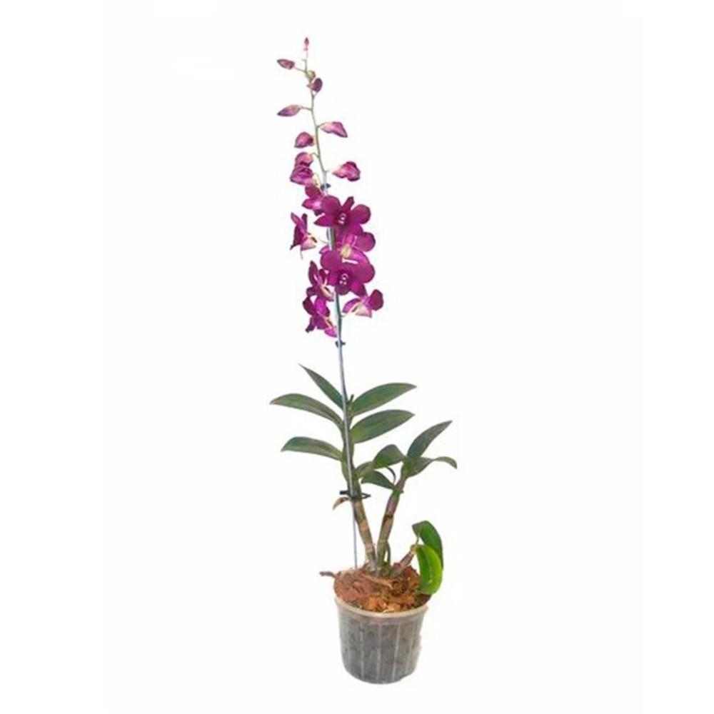Orquidea - Denphlaen
