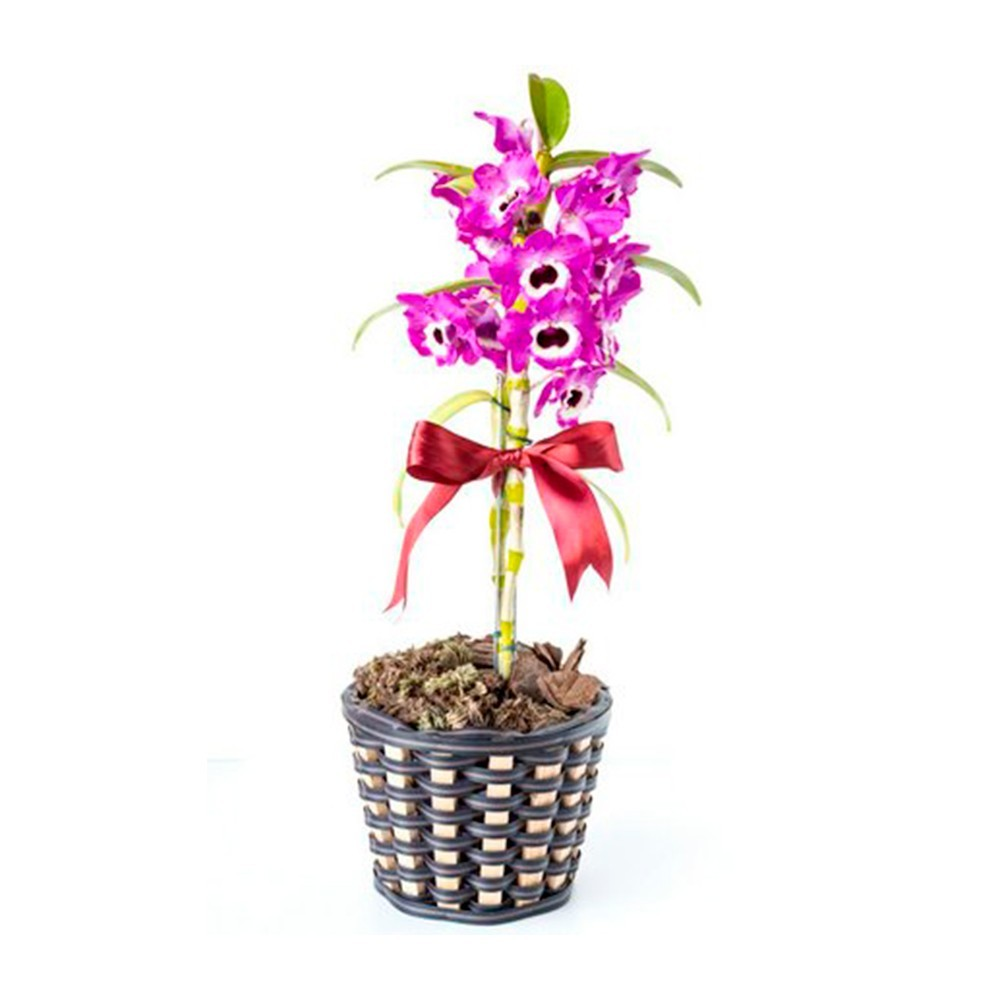 Orquídea olhos de boneca - Dendrobium