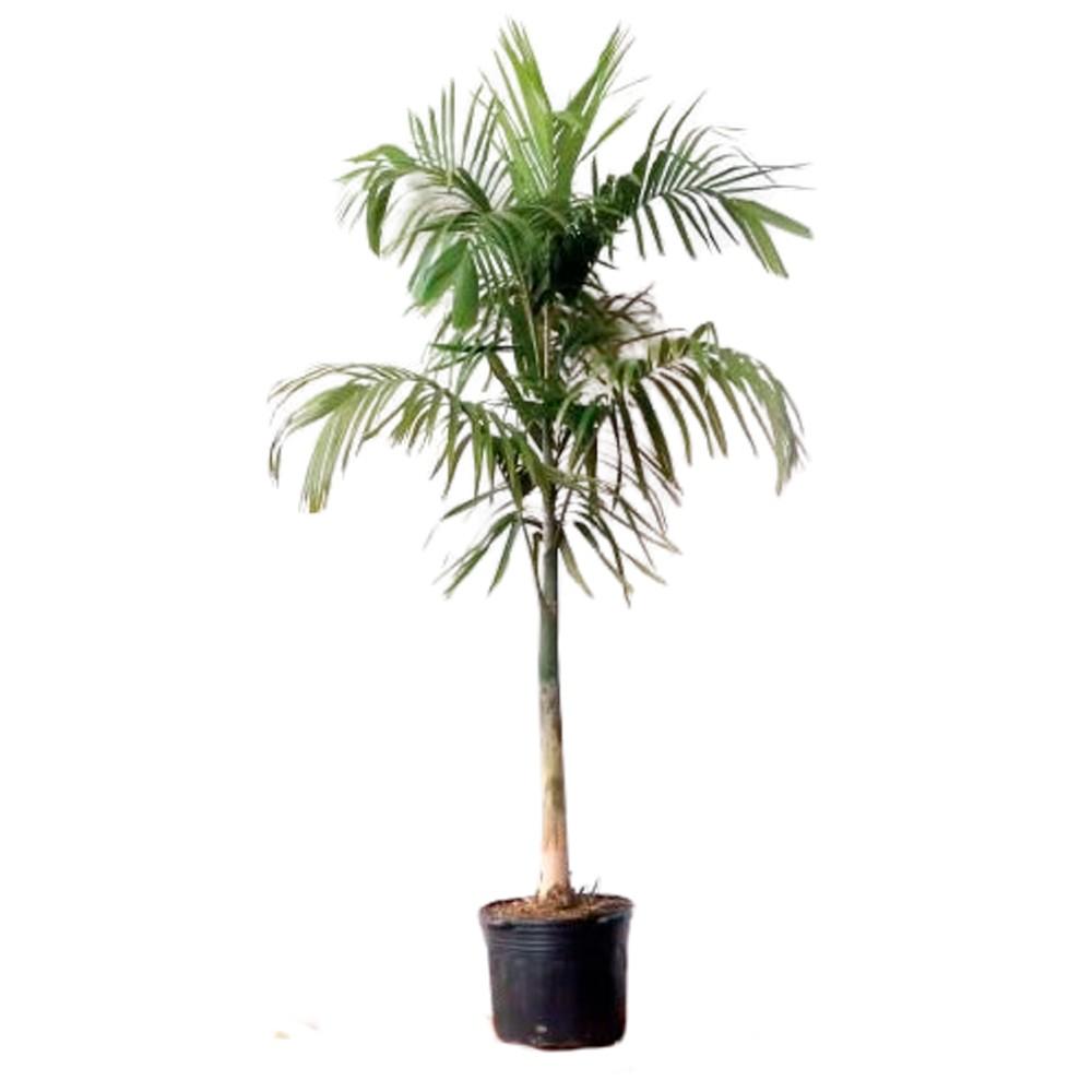 Palmeira Carpentaria - Acuminata