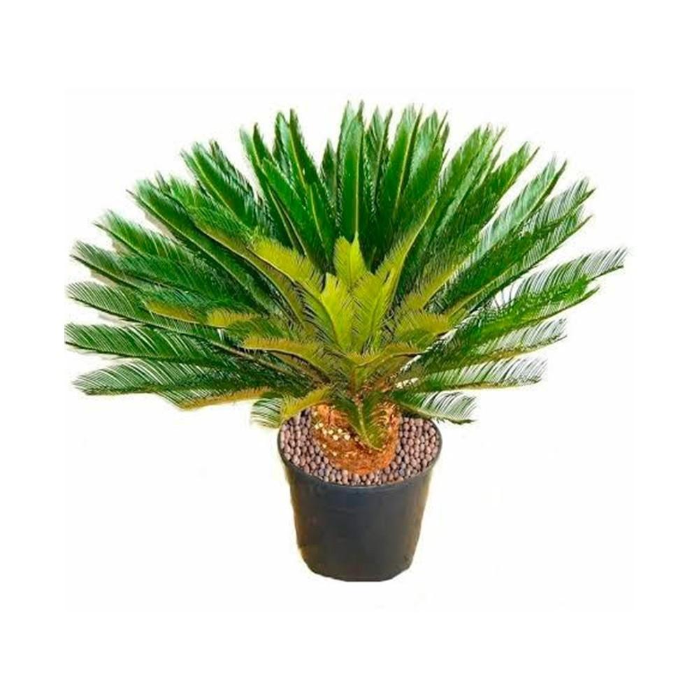 Palmeira Cica - Cycas revoluta