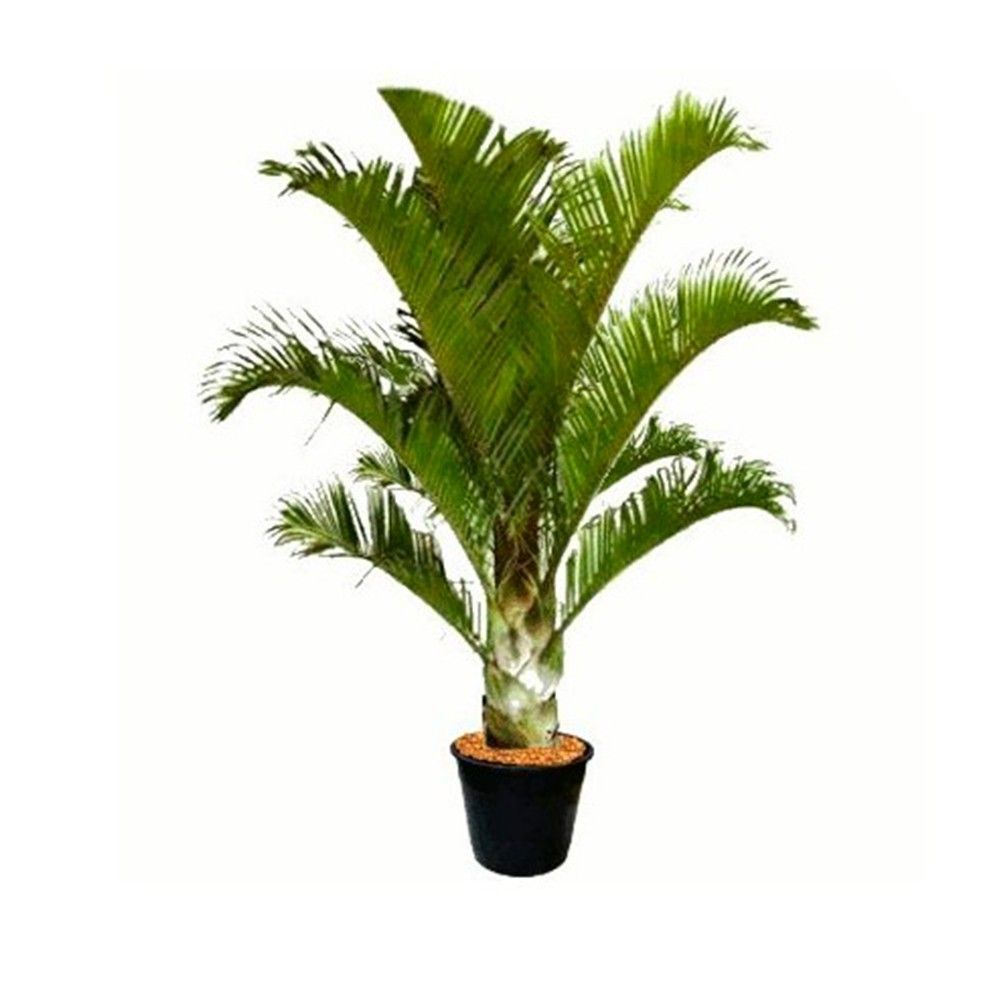 Palmeira Triangular - Dypsis decaryi