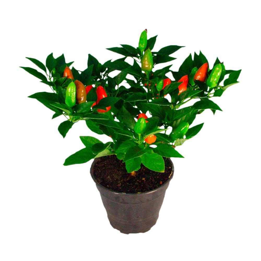 Pimenta Ornamental - Capsicum frutescens