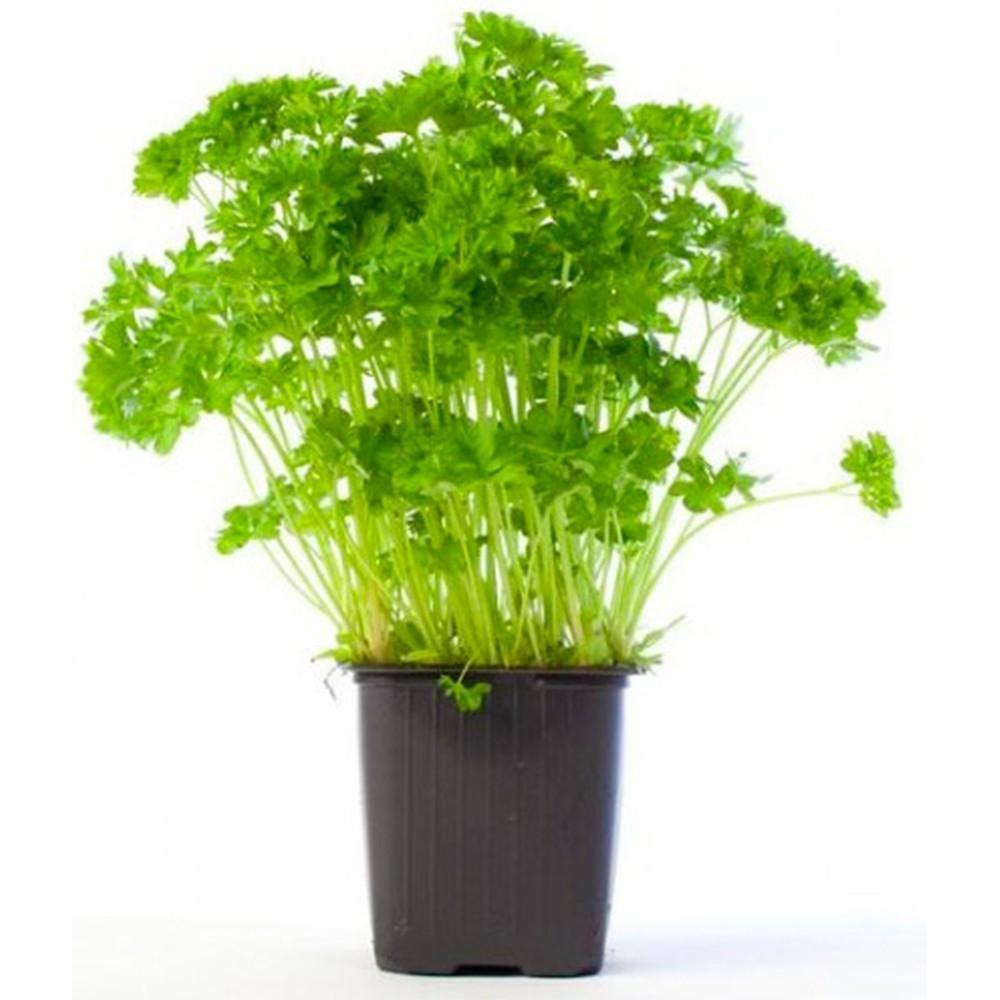 Salsa - Petroselinum crispum