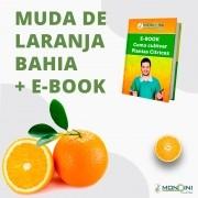 Laranja bahia + EBOOK como cultivar plantas cítricas