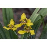 Muda de Iris Amarela