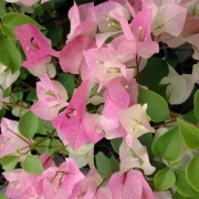 Muda de primavera Trepadeira Lilás