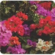 Muda de Primavera Trepadeira Vermelha