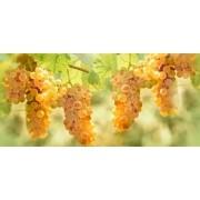 Muda de Uva Moscato Branco