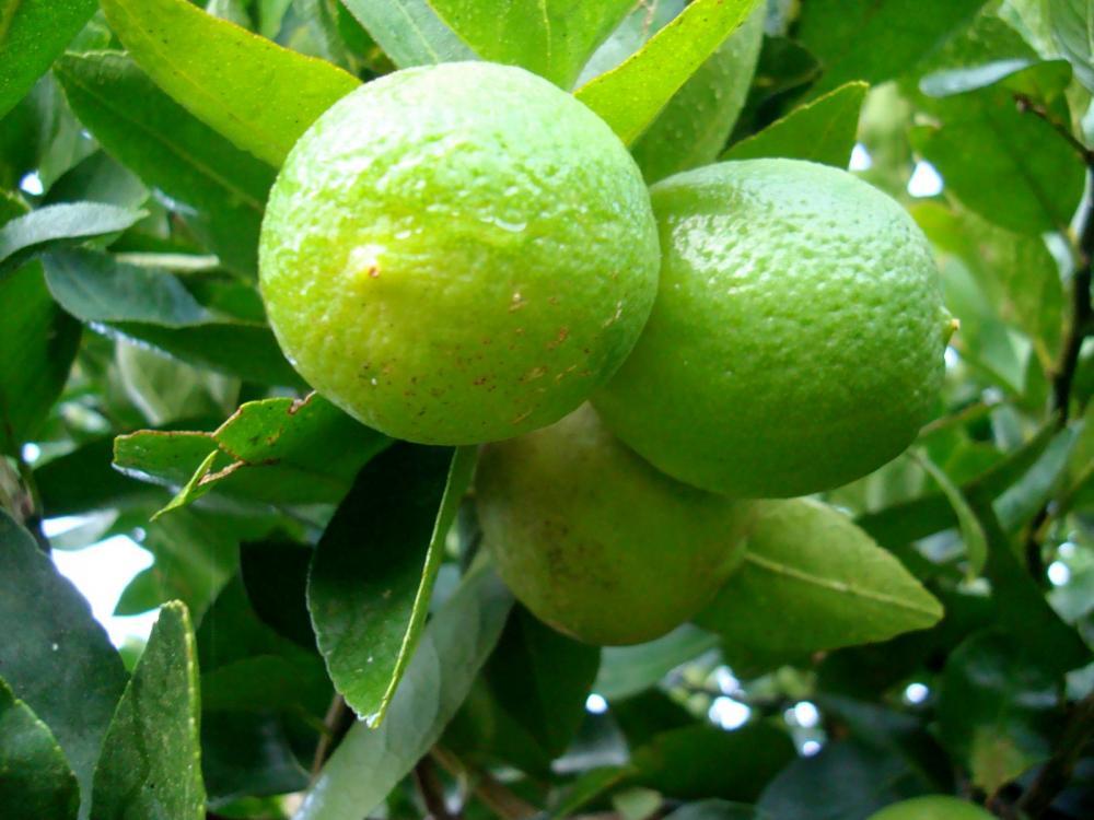 Kit 2 Mudas: Limão tahiti + tangerina ponkan