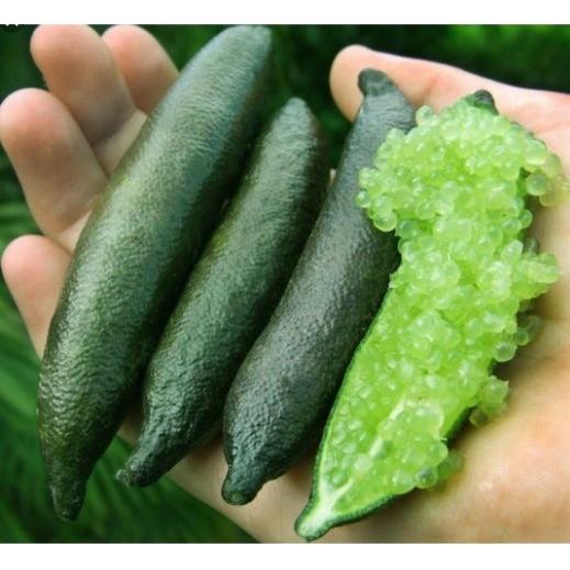 Limão Caviar + Curso Como Cultivar Limão Caviar