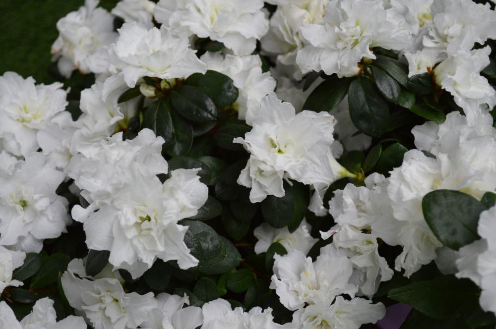 Muda de Azaleia Branca