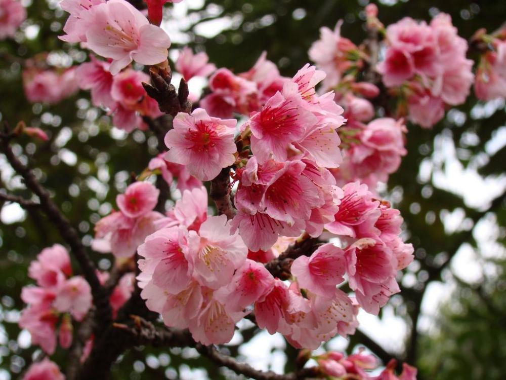 Muda de Cereja Flor Vermelha