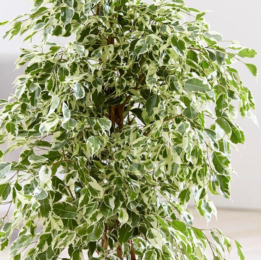 Muda de Ficus