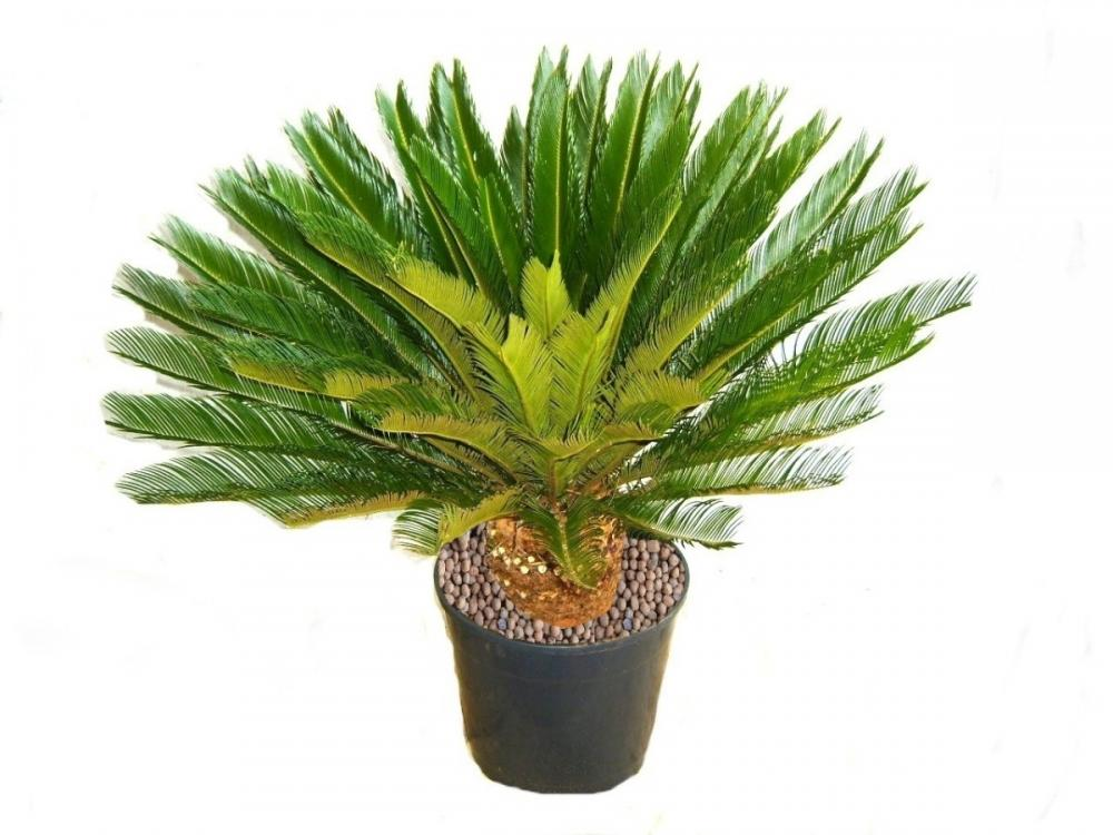 Muda de Palmeira Cica