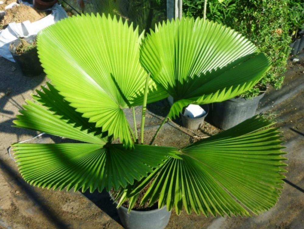 Muda de Palmeira Leque