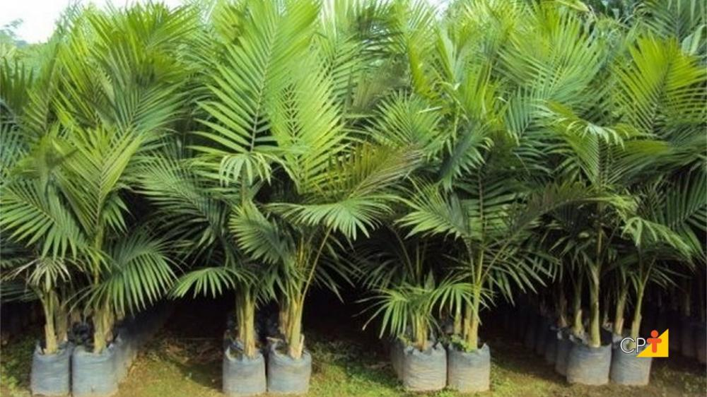 Muda de Palmeira Real (M)