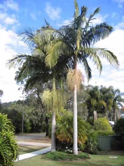 Muda de Palmeira Real (P)