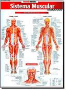 Mapa Resumão Sistema Muscular Avançado