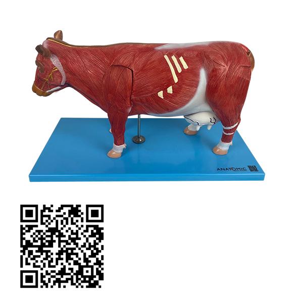 Anatomia da Vaca