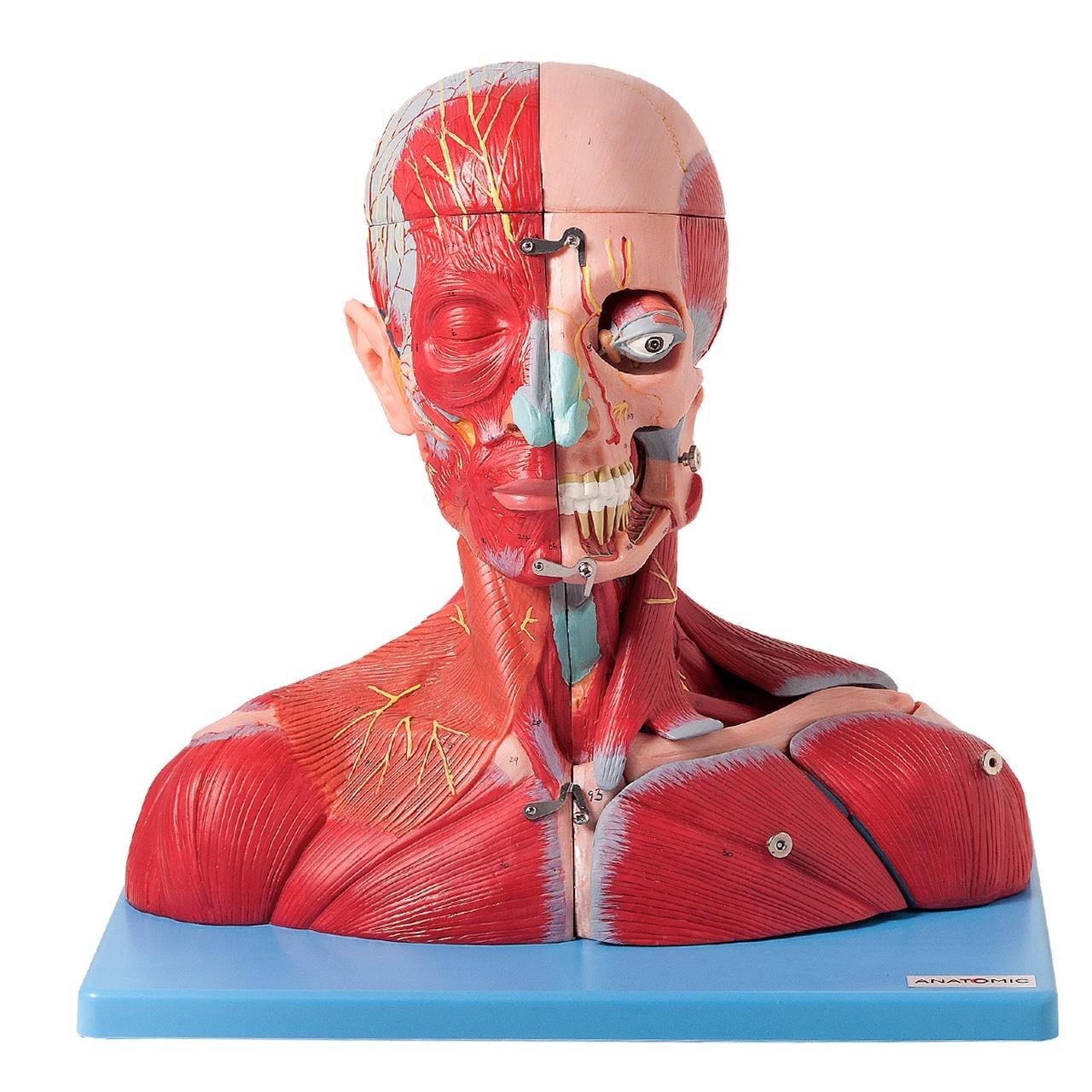 Cabeça e Pescoço Muscular, com Vasos, Nervos e Cérebro, em 19 Partes
