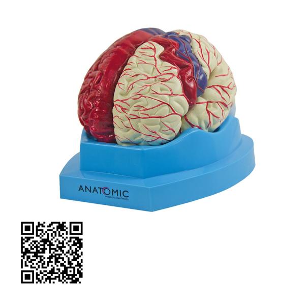 Cérebro com regiões Neuro-Funcionais, em 8 Partes