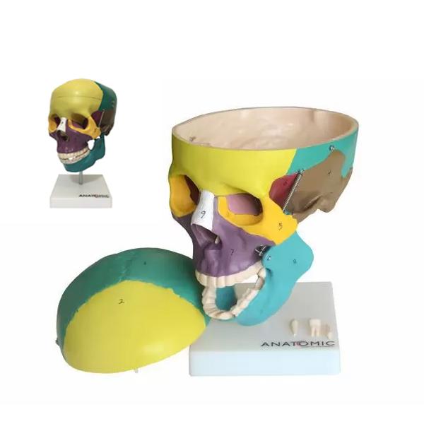 Crânio Didático Colorido, em 5 Partes