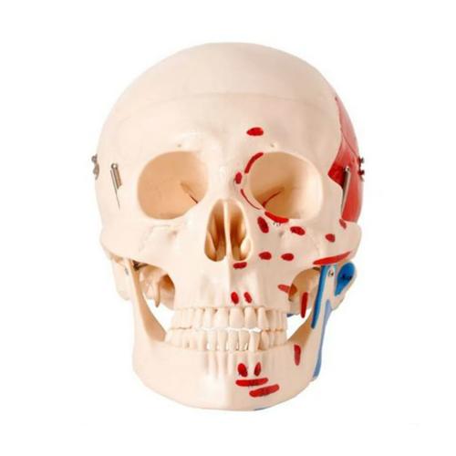 Crânio Numerado, com Origem e Inserção Muscular, em 2 Partes