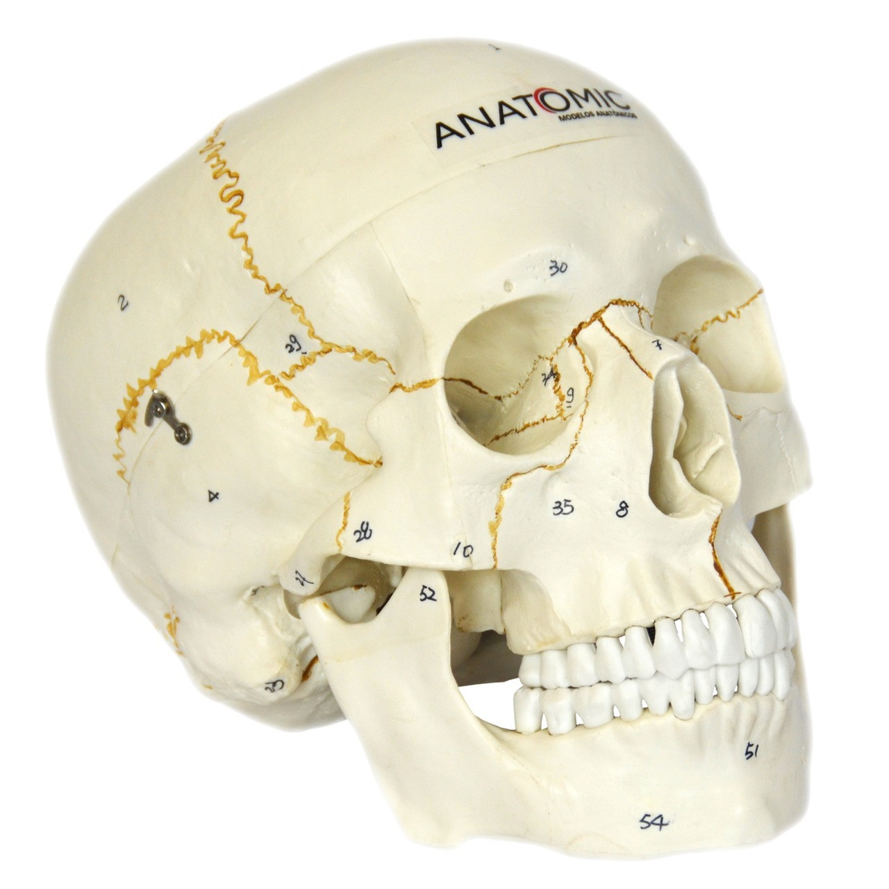 Crânio Numerado, em 2 Partes
