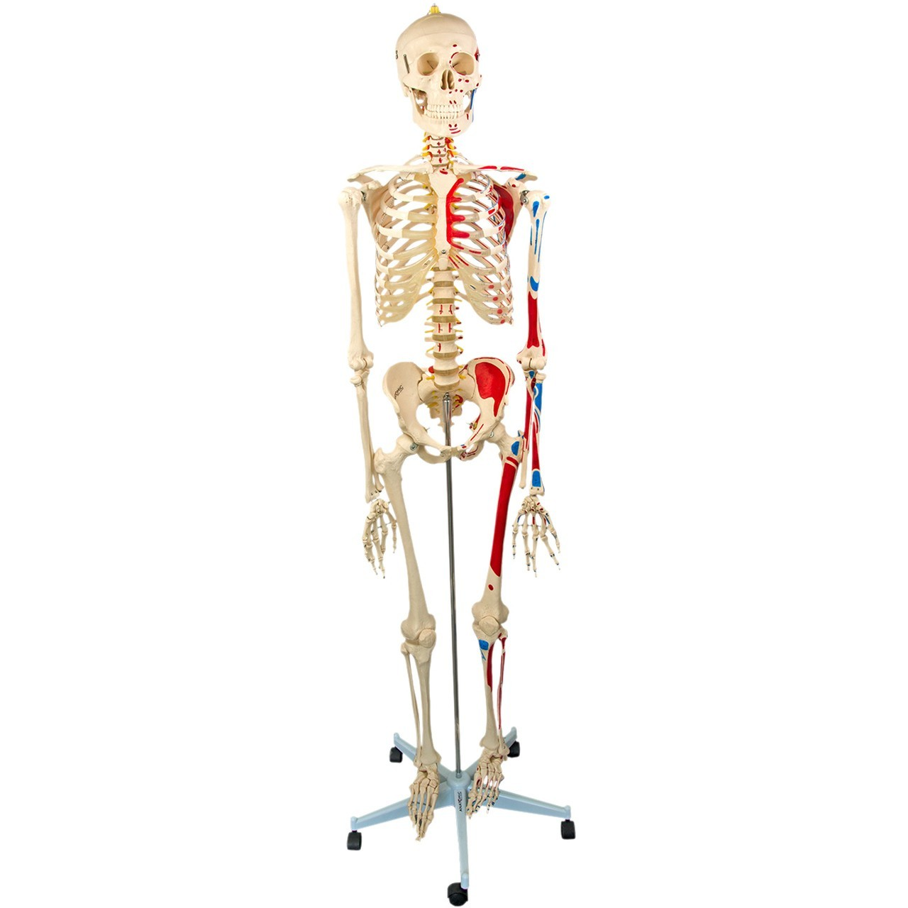 Esqueleto 168 cm, Articulado, com Inserções Musculares, Suporte e Base com Rodas