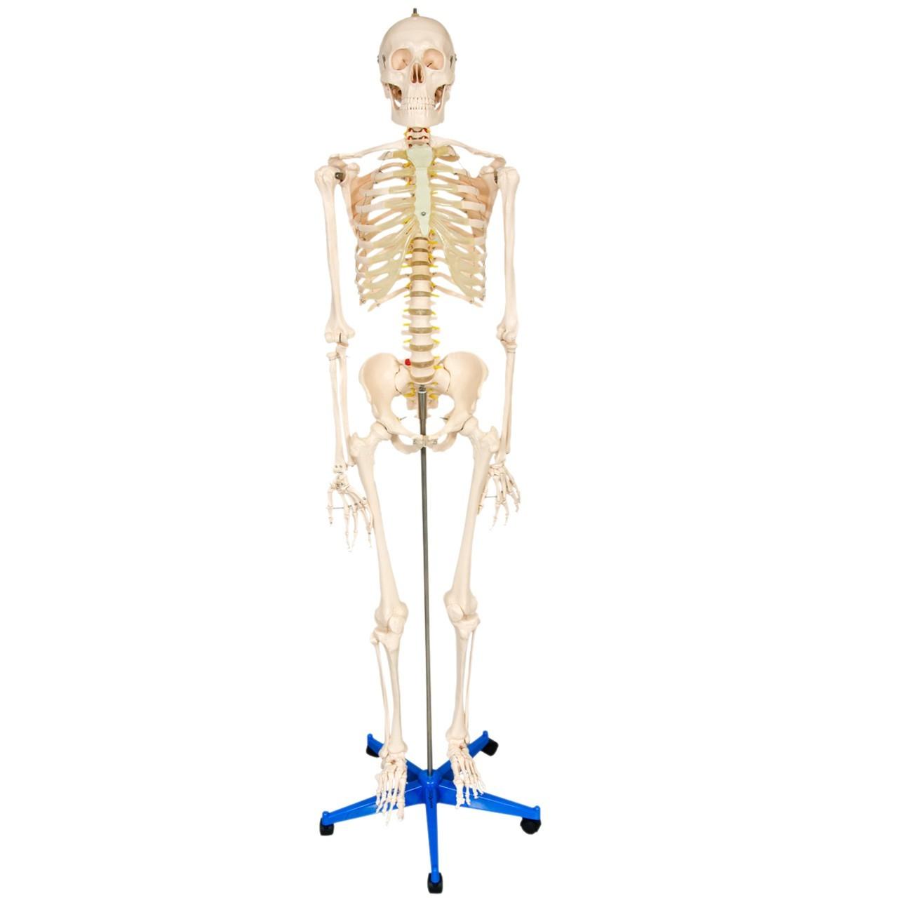 Esqueleto 170 cm, Padrão, com Suporte e Base com Rodas