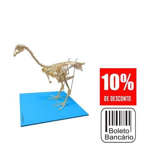 Esqueleto da Galinha, em Tamanho Natural