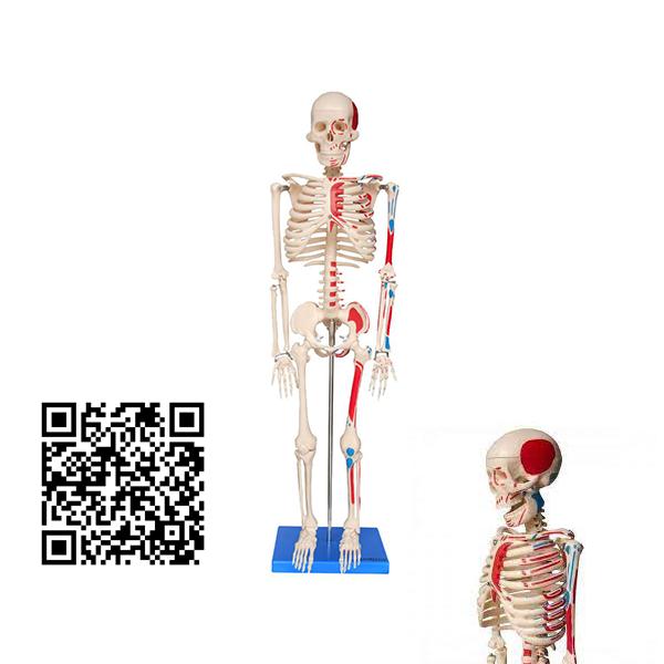 Esqueleto de 85 cm, Articulado, com Inserções Musculares, c/Base Código:TGD-0112-AN
