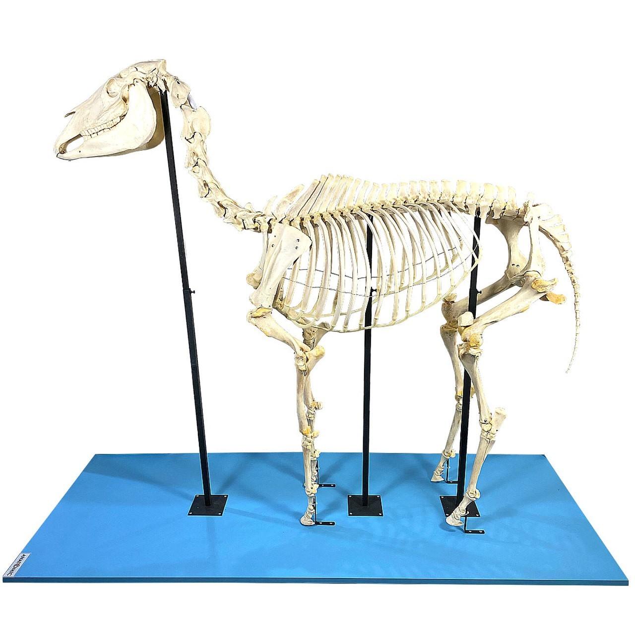 Esqueleto de Cavalo, em Tamanho Natural