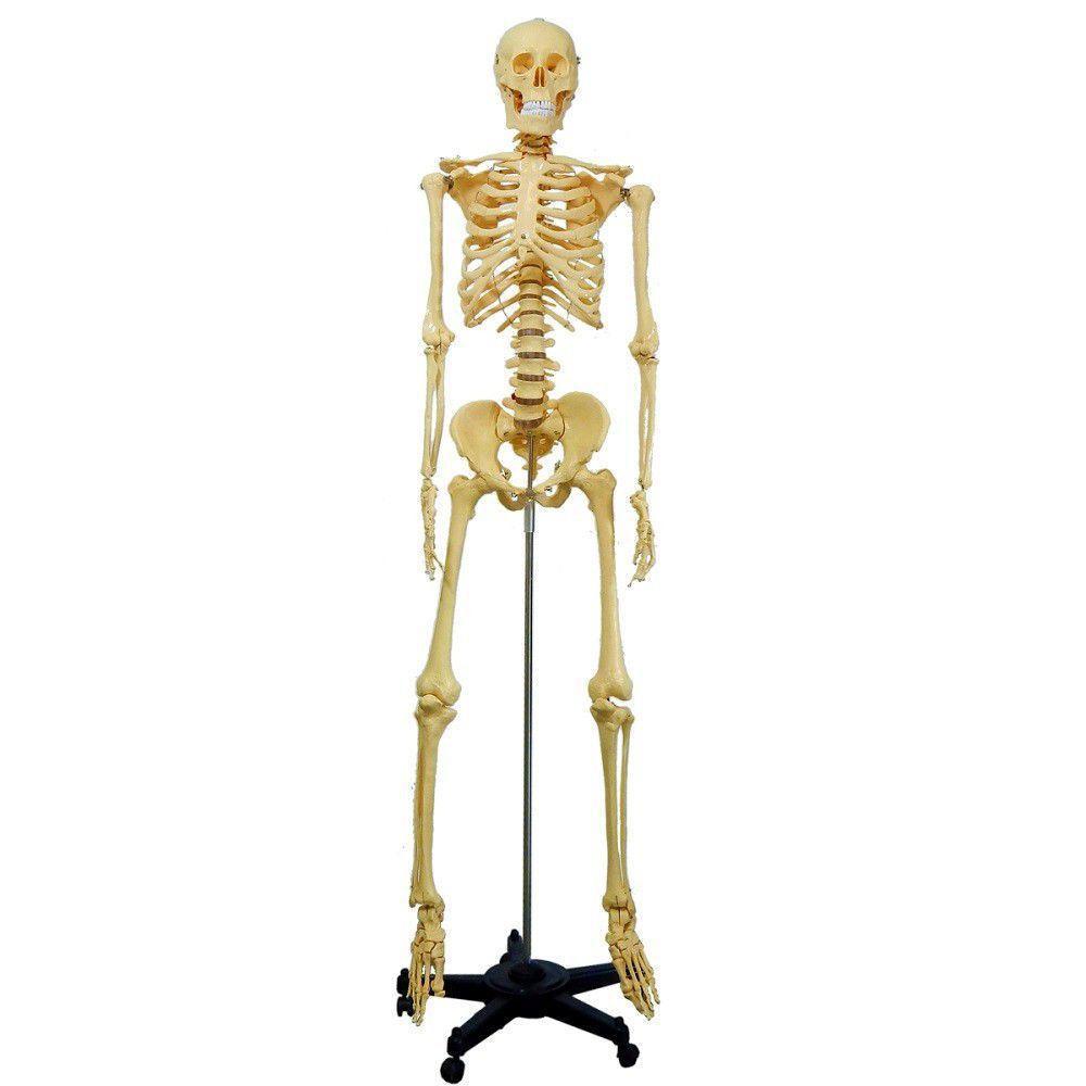 Esqueleto Humano 1,70 cm Altura Suporte e Rodas - amarelo