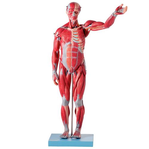 Manequim Muscular Assexuado de 78 cm c/ Órgãos Internos em 27 Partes