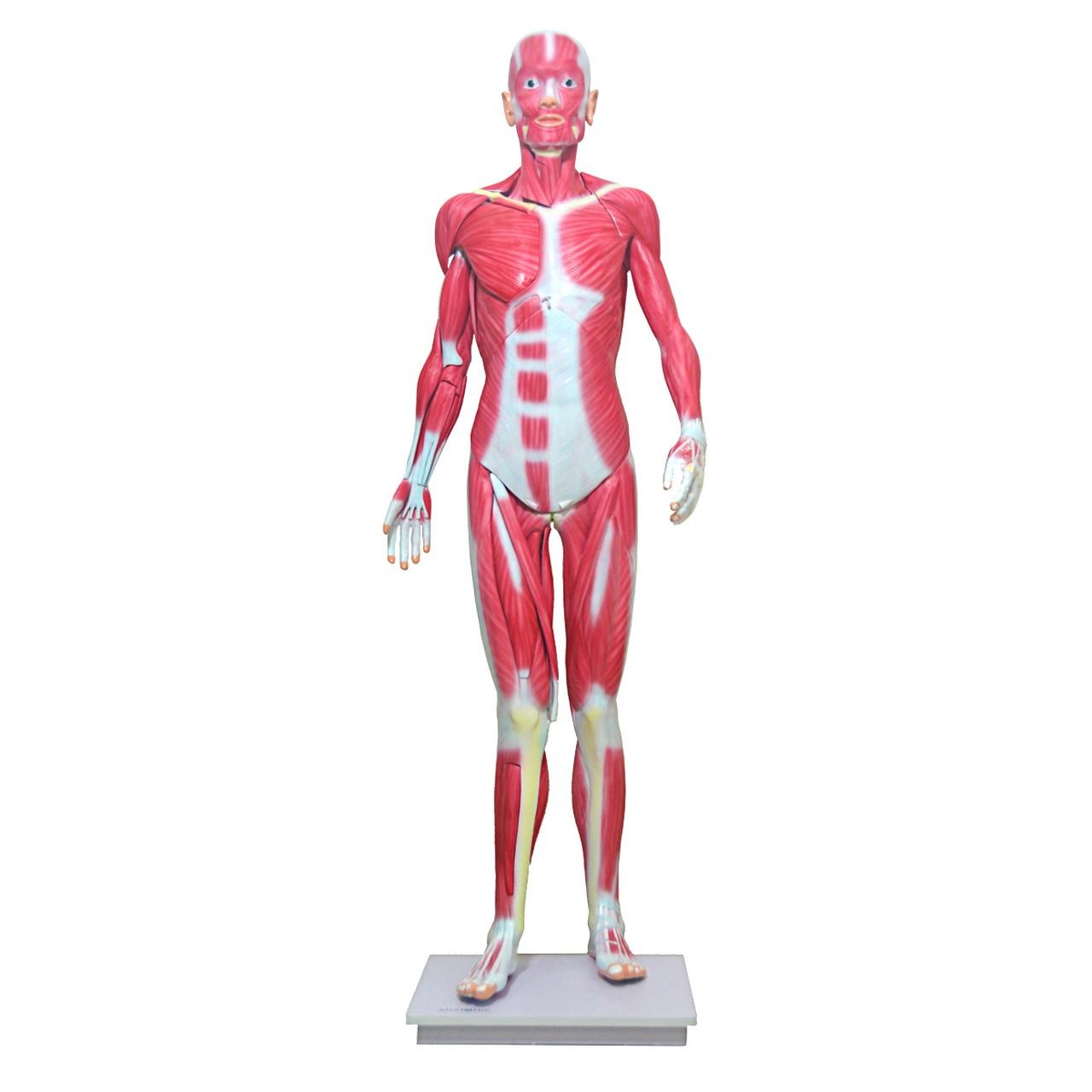 Manequim Muscular de 170cm, Assexuado, em 33 Partes