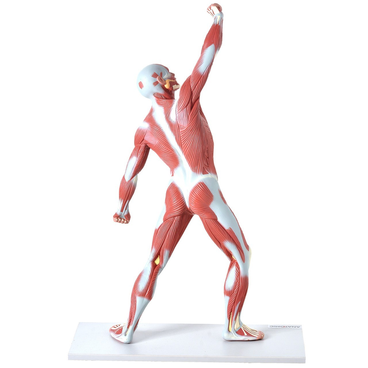 Manequim Muscular de 50cm