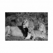 Quadro Família Leão 1 Filhote - Tela Única