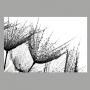 Quadro Dente de Leão Preto e Branco Delicado - Tela Única
