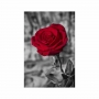 Quadro Flor Rosa Vermelha - Tela Única