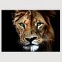 Quadro Leão e Leoa Casal  Face - Tela Única
