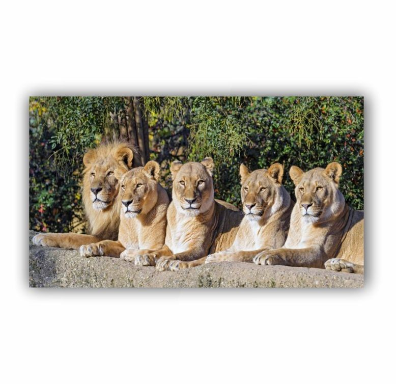 Quadro Família de Leão Completa - Tela Única