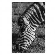 Quadro Zebra
