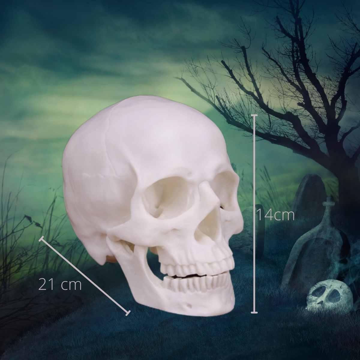 Cranio com Mandibula Articulavel 21x14