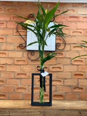 Bambu da Sorte GG