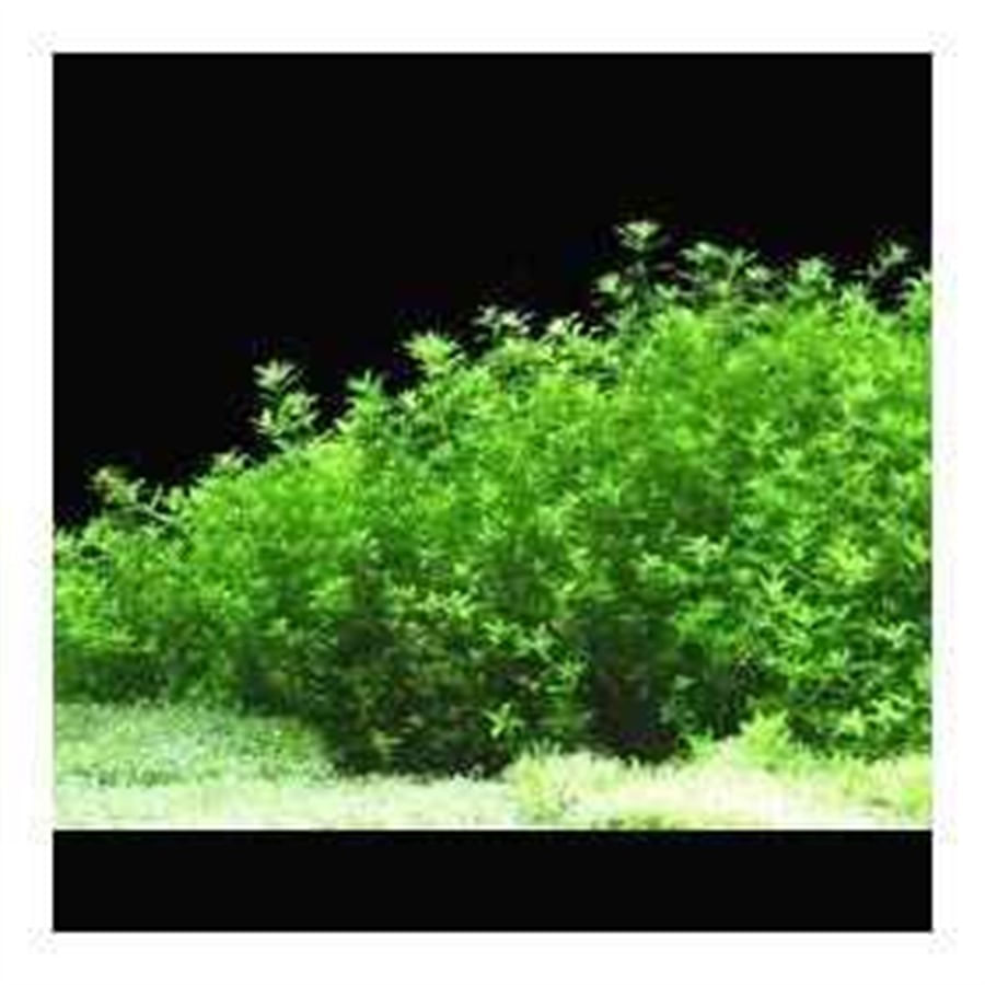 Cultivo Sol Nascente - Planta Hemianthus micranthemoides(Bandeja de 18X10X5)