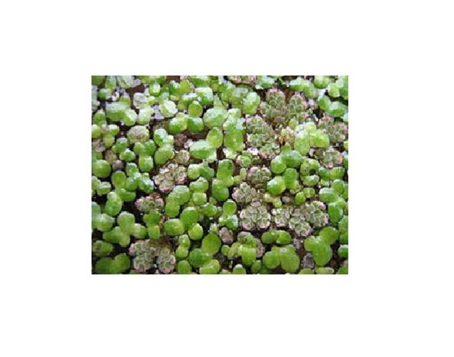 Plantas Naturais - Azolla Filiculoides - (Vaso/Muda)