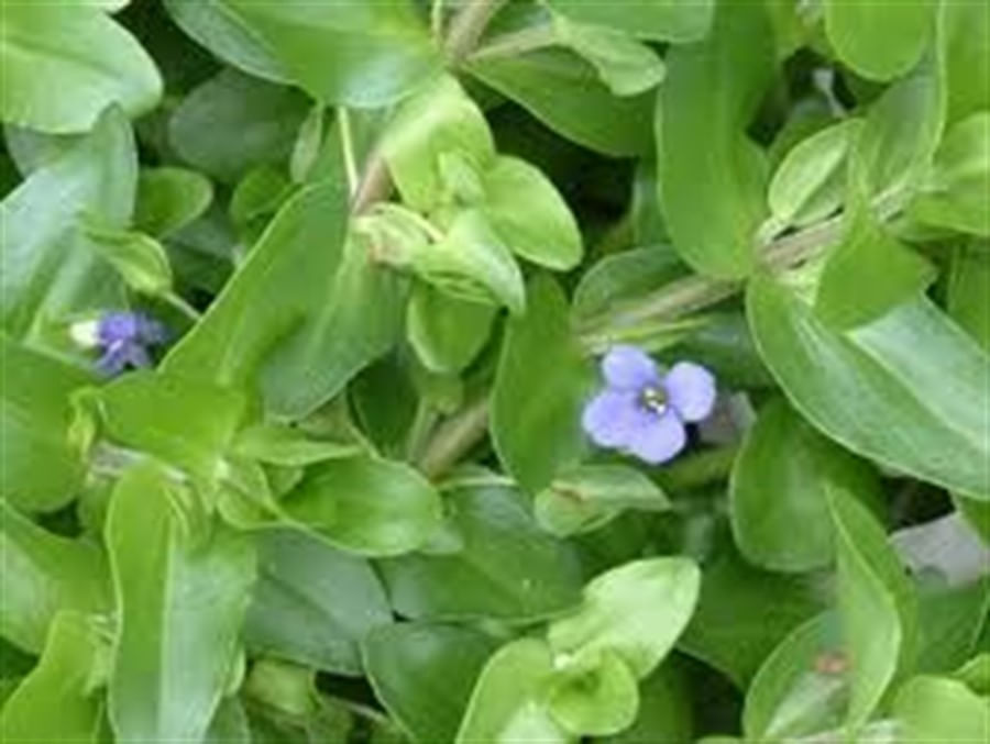 Plantas Naturais - Bacopa caroliniana (Vaso/Muda)
