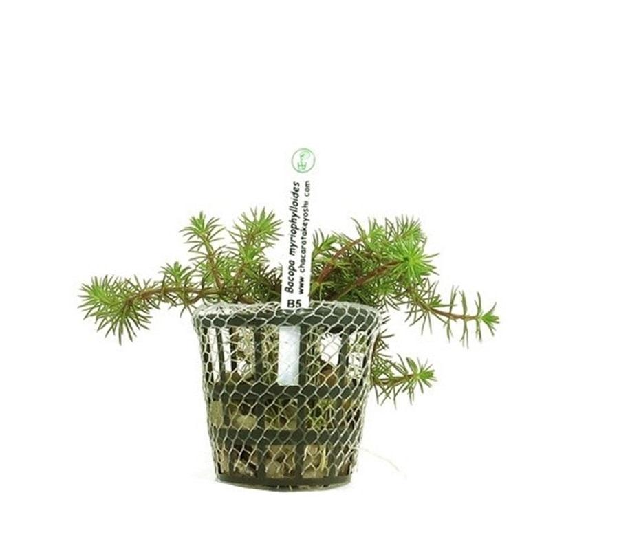 Plantas Naturais - Bacopa Myriophylloides (Vaso/Muda)