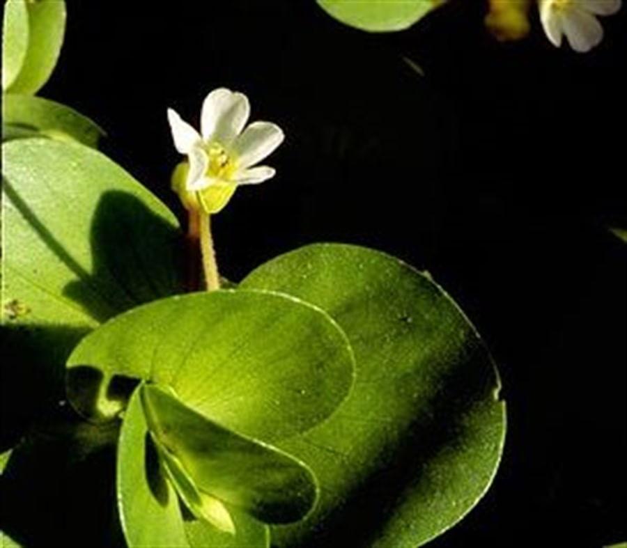 Plantas Naturais - Bacopa Rotundifolia (Vaso/Muda)